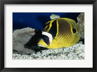 Close-up of a Raccoon Butterfly fish Framed Print