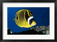Close-up of a Raccoon Butterfly Fish Swimming Framed Print