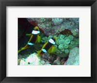 Framed islands clown fish