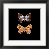 Framed Pair of Butterflies on Black