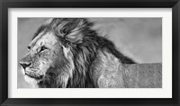 Framed Lion Eyes