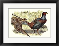 Framed Pheasant Varieties I