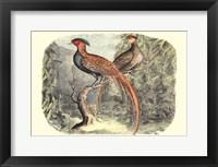 Framed Pheasant Varieties II