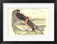 Framed Pheasant Varieties IV
