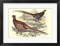 Framed Pheasant Varieties V