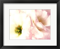 Framed Lily Blush