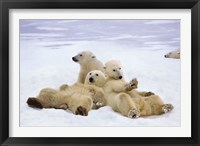 Framed Polar Bear Playtime