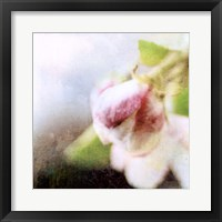 Framed Apple Blossom II