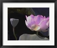 Blushing Lotus III Framed Print