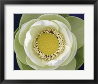 Delicate Lotus II Framed Print