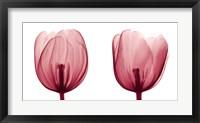 Framed Tulips [Positive]