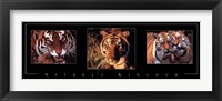 Framed Nature's Kingdom-Tigers