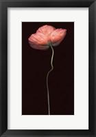 Framed Poppy Solo