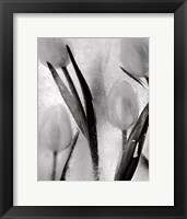 Framed Tulips on Ice