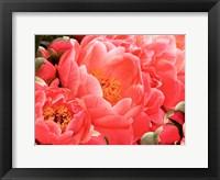 Coral Peonies II Framed Print