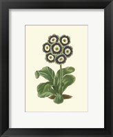 Framed Antique Primula II