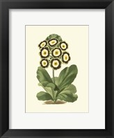 Framed Antique Primula III