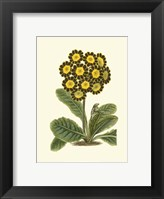 Framed Antique Primula IV