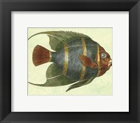 Framed Small Angel Fish I