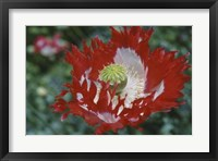 Framed Raglin Red Poppy