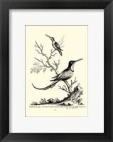 Framed B&W Grt. & Less. Hummingbird (1742)