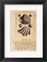 Shell Series II Framed Print