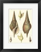 Framed Rostellaire Shells, Pl. 411