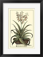 Framed Antique Munting Aloe III