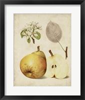 Framed Harvest Pears II