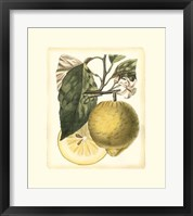 French Lemon Study I Framed Print
