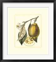 French Lemon Study II Framed Print