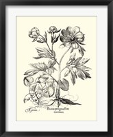 Framed Black and White Besler Peony III