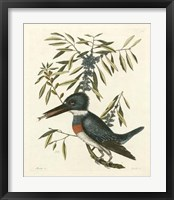 Framed Antique Kingfisher II