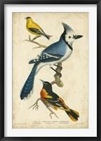 Framed Wilson's Blue Jay