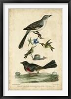 Framed Wilson's Mockingbird