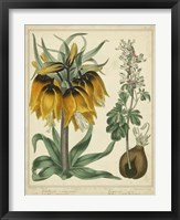 Framed Golden Crown Imperial