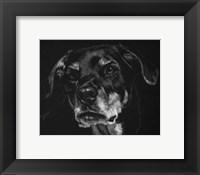 Framed Canine Scratchboard XXII