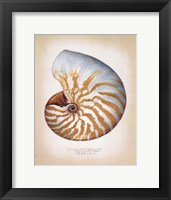 Framed Chambered Nautilus
