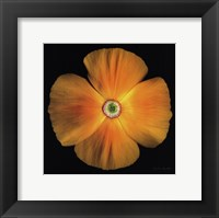 Framed California Poppy