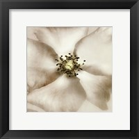 Whisper of Rose Framed Print