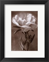 Purslane Framed Print