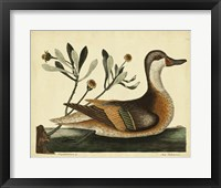 Framed Ilatheria Duck, Pl. T93