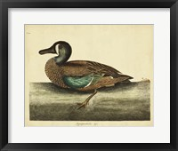 Framed White-face Teal, Pl. T100