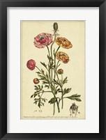 Framed Ranunculus, Pl. CCXVI