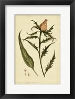 Framed Iacea, Pl. CLIII
