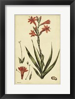 Framed Watsonia, Pl. CCLXXVI