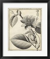 Framed Passiflora IV