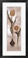Framed Tulipa Violoncello VI