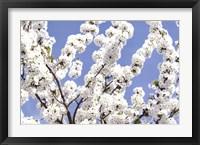 Framed Blossom Sky