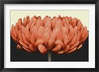 Framed Apricot Flame II